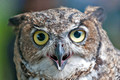 _RS33286-great-horned-owl