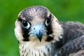 _RS33344-peregrine